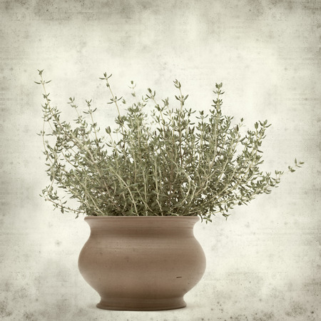 textured old paper background with growing thyme plant photo