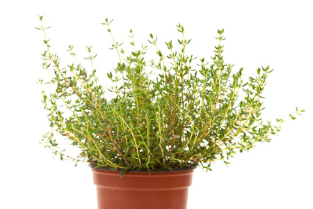 herbs de provence: Thyme plant isolated on white background