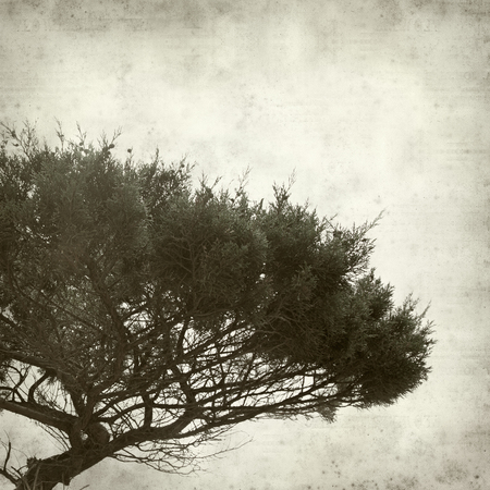 swept: textured old paper background with wind shaped thuja tree