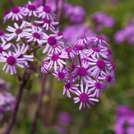 commonly: Pericallis webbii, commonly known as May flower, flowering plant native to Gran Canaria, flowers in Barranco de Moya