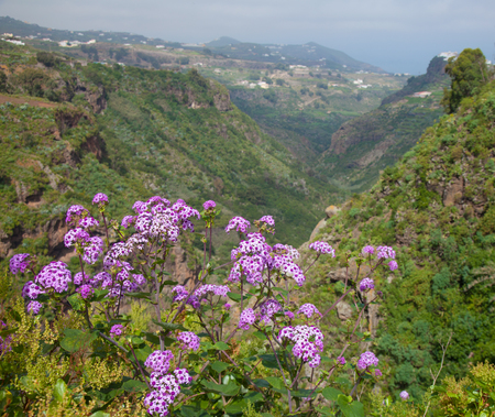 known: Pericallis webbii, commonly known as May flower, flowering plant native to Gran Canaria, flowers in Barranco de Moya