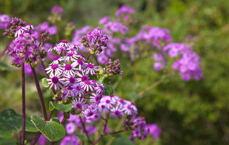 powszechnie: Pericallis webbii, commonly known as May flower, flowering plant native to Gran Canaria, flowers in Barranco de Moya