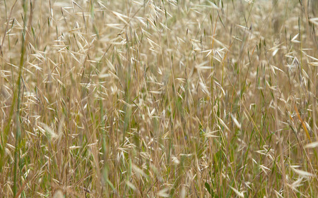 wild oats: wild oats in field natural floral background