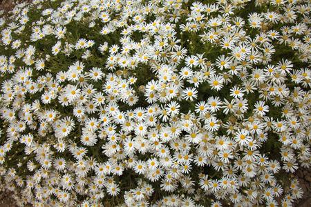canarian: Flora of Gran Canaria - flowering Argyranthemum, Canarian Marguerite daisy