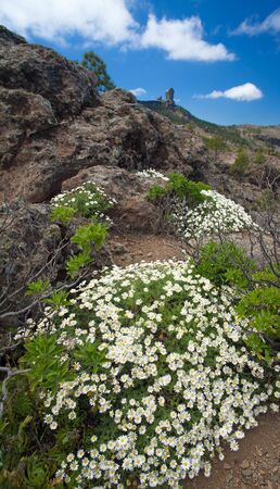 argyranthemum: Flora of Gran Canaria - flowering Argyranthemum, Canarian Marguerite daisy, Roque Nublo in the background