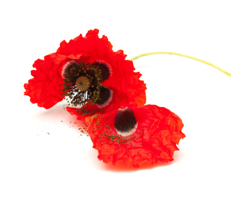 wilting: wilting red poppy isolated on white background, focus on the loose petal Stock Photo