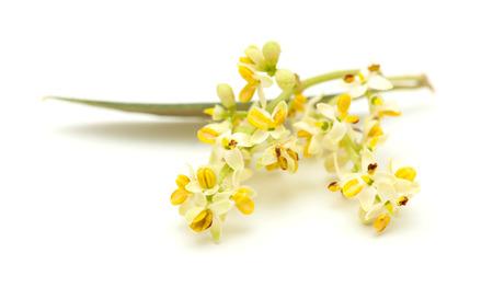 olivo arbol: Flores del árbol de oliva aislados en el fondo blanco Foto de archivo