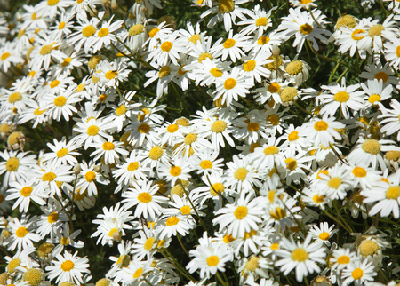 argyranthemum: flowering canarian marguerite daisy natural floral background