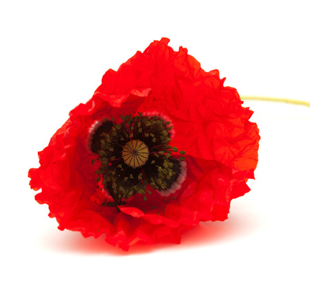frilled: bring red poppy on white surface isolated on white background