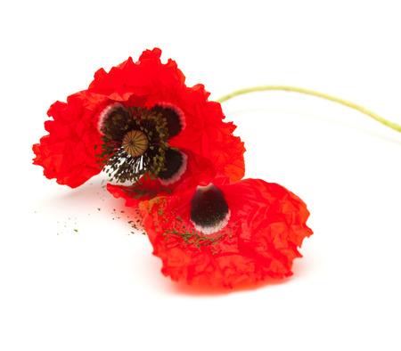 wilting: amapola roja marchitamiento aislado en fondo blanco, se centran en la flor