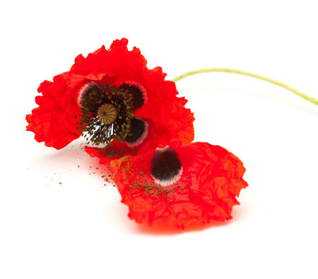 wilting: wilting red poppy isolated on white background, focus on the the flower