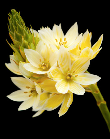 single stem of star-of-bethlehem flowers isolated on black photo