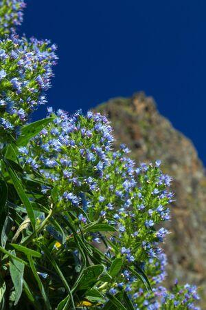 echium: Gran Canaria, Valsequillo municipality, Echium callithyrsum; Blue bugloss of Gran Canaria flowers around Tenteniguada;