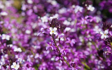 abundant: abundant flowering of Erysimum albescens, plant endemic of Gran Canaria