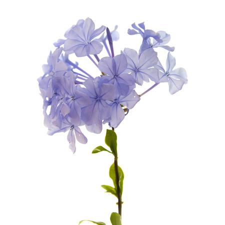 auriculata: Plumbago auriculata or Blue Plumbago, isolated on white background