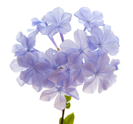 auriculata: Plumbago auriculata or Blue Plumbago, isolated on white background