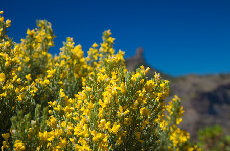 abundant: abundant flowering of Genista microphylla, broom species endemic to Gran Canaria, natural floral background Stock Photo