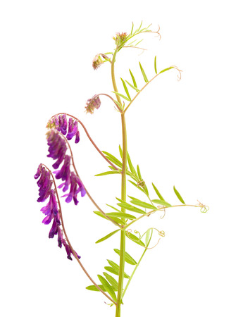 lila: fodder vetch isolated on white background Stock Photo