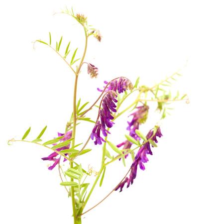 fodder: fodder vetch isolated on white background Stock Photo