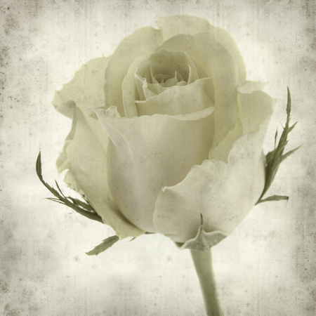 textured old paper background with pale yellow rose flower photo