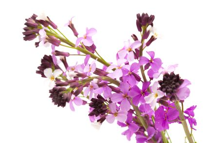 endemic: Erysimum albescens, plant endemic to Gran Canaria, isolated Stock Photo