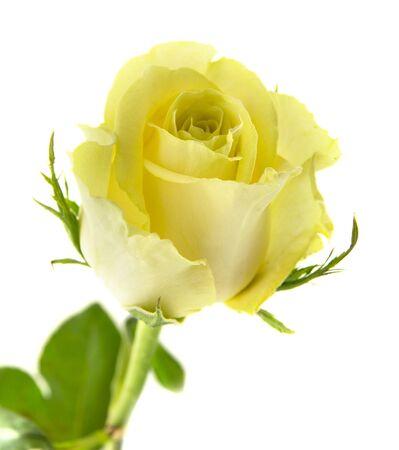 spiralling: yellow-green rose flowers macro on white background