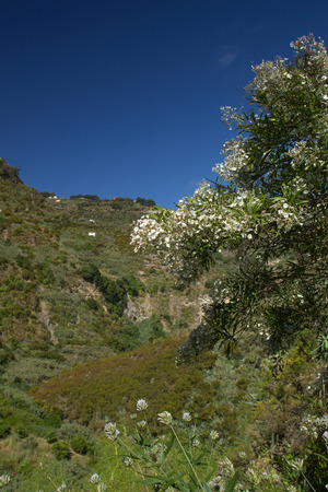 convolvulus: Gran Canaria, Barranco de Azuaje between Moya and Firgas, Convolvulus floridus, plant endemic to Canary Islands flowers in the foreground