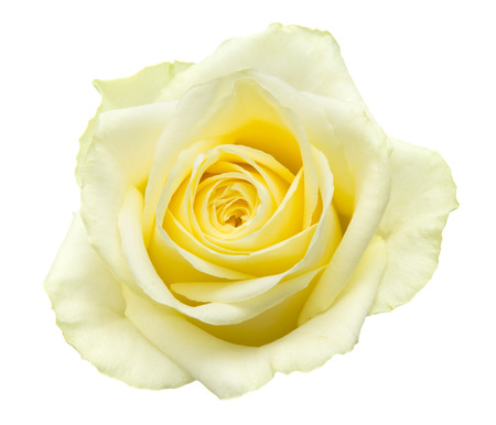 pale yellow-green rose isolated on white background