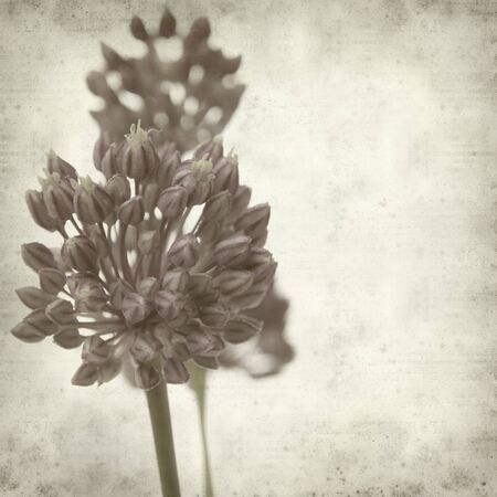 textured old paper background with wild leek flowers photo