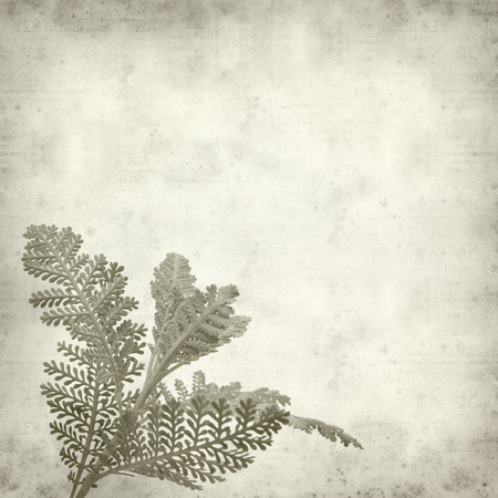 textured old paper background with silver tansy leaf photo