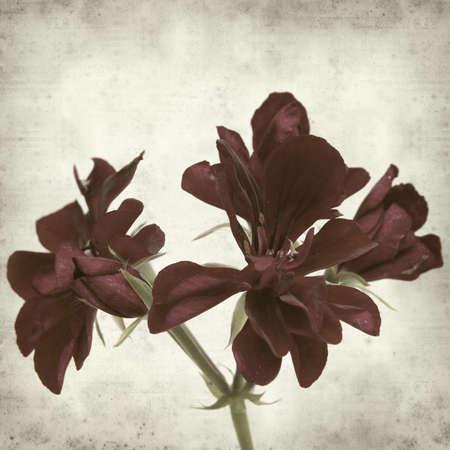 dark red: textured old paper background with dark red geranium