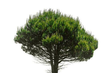 pinaceae: Stone pine, Pinus Pinea, isolate don white background Stock Photo