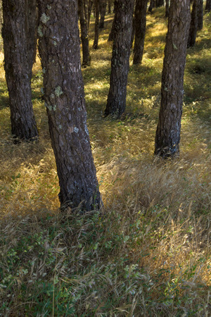 sun lit: natural background of sun lit grasses btween the trunks of Pinus pinea, Stone pine trees