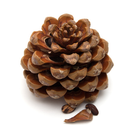 cone of stone pine, Pinus pinea, with some of the nuts still in, isolated on white background Stock Photo