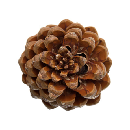 pinaceae: cone of stone pine, Pinus pinea, with some of the nuts still in, isolated on white background Stock Photo