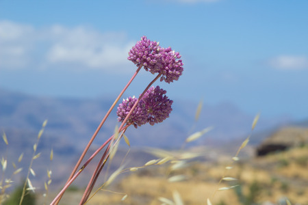 naturalized: Flora of Gran Canaria - flowers of Allium ampeloprasum, wild leek Stock Photo