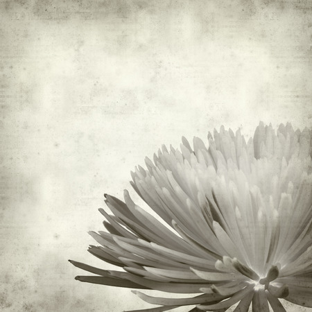 textured old paper background with  Chrysanthemum photo