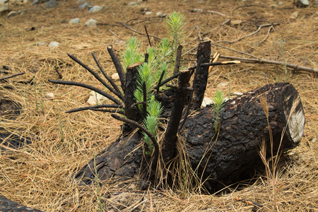 paradox: forest management - new shoots of canarian pine on a stump burned in a controlled fire Stock Photo
