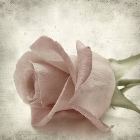 textured old paper background with pale pink rose photo