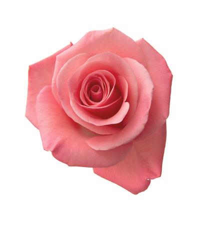 白い背景に分離された穏やかなピンクのバラ