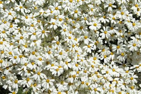 abundant: Flora of Gran Canaria, abundant flowering of Tanacetum ptarmiciflorum, Silver Lace Bush or Silver Tansy, endangered species