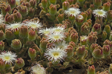 iceplant: Mesembryanthemum crystallinum, common ice plant, crystalline iceplant or ice plant