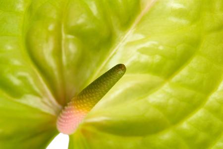 spadix: green anthurium with  pink spadix background