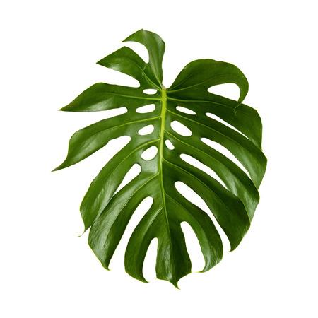 Gran hoja brillante verde de la planta de monstera aislado en fondo blanco Foto de archivo - 41808943