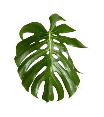 large green shiny leaf of monstera plant isolated on white background