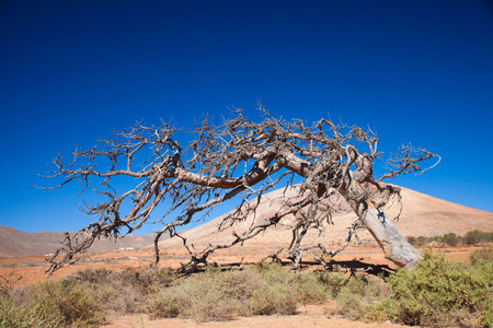 prevailing: Fuerteventura, Tetir area - dry dead fig tree shaped by trade wind, cut down in 2014 Stock Photo