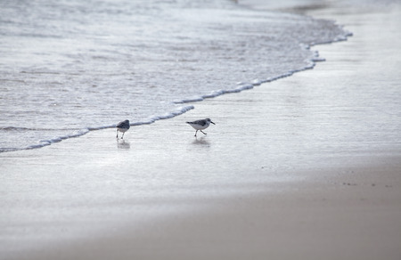 wader: Kentish Plovers on a beach, natural background
