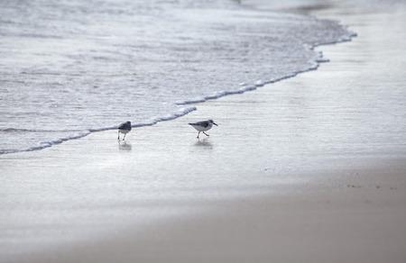 shorebird: Kentish Plovers on a beach, natural background
