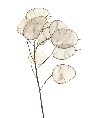 sheen: Lunaria annua, silver dollar plant isolated on white background