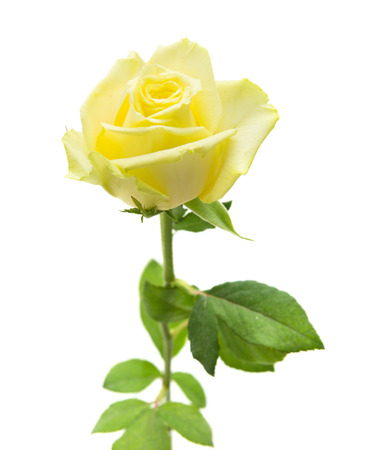light yellow: pale yellow and green rose isolate on white background Stock Photo